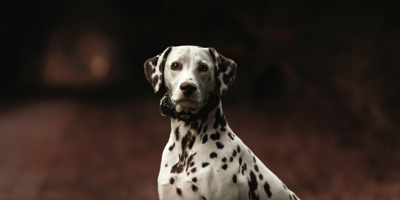 dalmatian with dark road background